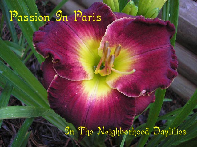 Passion In Paris  (Petit, 2002)-Daylily Passion In Paris;T.Petit Daylily;Red w' Lighter Watermark Daylily;Perennials;Early To Midseason Daylily;Reblooming Daylilies;Tetraploid Daylily;Semi-evergreen Daylily