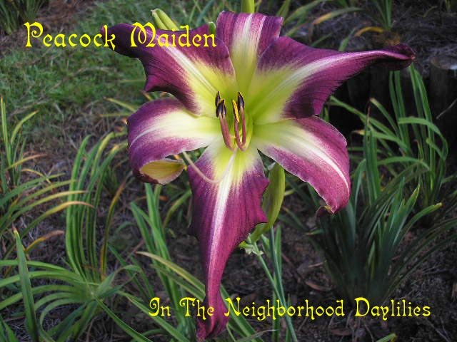 Peacock Maiden   (Carpenter, K., 1982)-Daylily Peacock Maiden;K.Carpenter Daylily;Purple w' White Eye Daylily;Award Winning Daylily;Perennial;Affordable Daylilies;Midseason Daylily;Reblooming Daylilies;Unusual Form Daylily;Diploid Daylily;Evergreen Daylily
