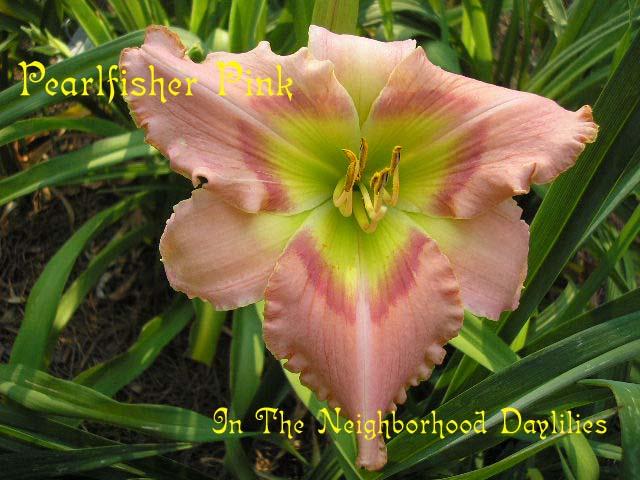 Pearlfisher Pink  (Kirchhoff, D., 1995)-Daylily Pearlfisher Pink;D.Kirchhoff Daylily;Clear Pink w' Rose Band & Gold Edge Daylily;Award Winning Daylily;Perennial;Affordable Daylilies;Midseason Daylily;Reblooming Daylilies;Fragrant Daylily;Tetraploid Daylily;Evergreen Daylily