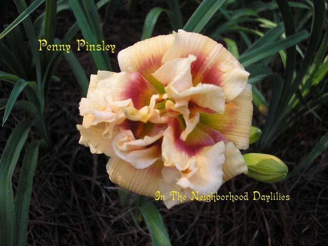 Penny Pinsley  (Trimmer, 1999)-Daylily Penny Pinsley;Trimmer 1999 Daylily;Cream Yellow w'Red Eye Daylily;Double Daylily;Award Winning Daylily;Perennials;Early To Midseason Daylily;Reblooming Daylilies;Diploid Daylily;Semi-evergreen Daylily