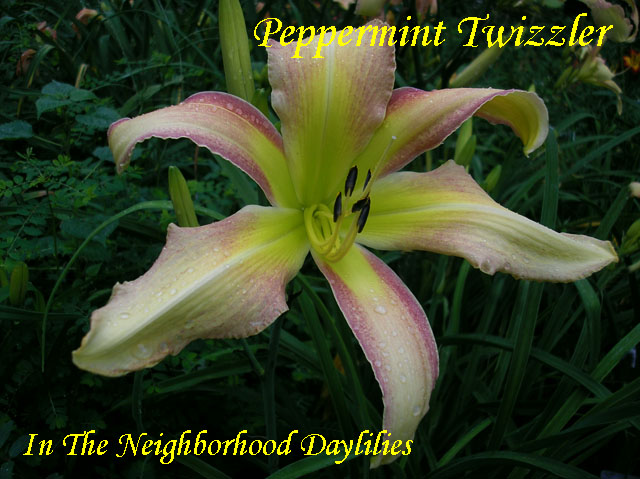 Peppermint Twizzler  (George, T.  2004)-Daylily;Daylilies;Day Lily;Daylily Peppermint Twizzler;George, T. 2004 Daylily;Cream w' Rose Red Edge Above Green Throat Daylily;Reblooming Daylilies;Unusual Form Daylily;Extended Blooming Time Daylilies