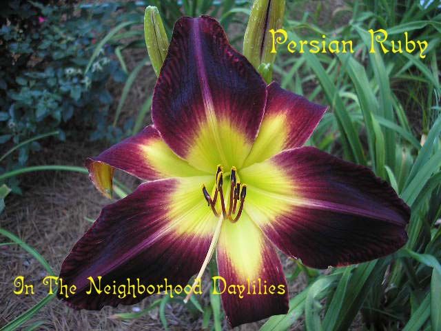 Persian Ruby  (Trimmer, 1998)-Daylily Persian Ruby;Trimmer Daylily;Ruby Red Self Daylily;Award Winning Daylily;Perennial;Early To Midseason Daylilies;Tetraploid Daylily;Dormant Daylily