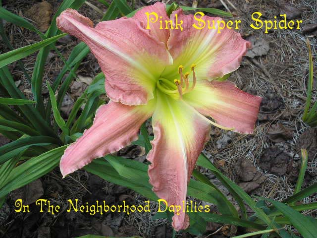 Pink Super Spider   (Carpenter, K., 1982)-Daylily Pink Super Spider;K.Carpenter Daylily;Rose & Pink Cream Blend w' Cream Green Eye Daylily;Award Winning Daylily;Perennials;Affordable Daylilies;Unusual Form Daylilies;Diploid Daylily;Semi-evergreen Daylily