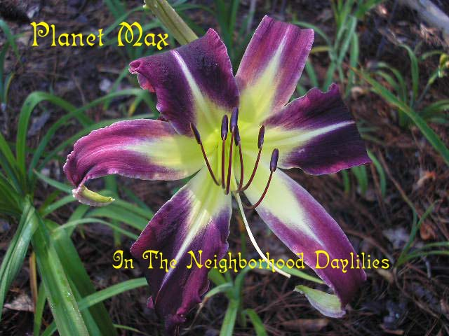 Planet Max   (Reed, 1996)-Daylily Planet Max;Reed Daylily;Dark Purple Self Daylily;Spider Daylily;Award Winning Daylily;Perennial;Early To Midseason Daylily;Diploid Daylilies;Semi-evergreen Daylilies