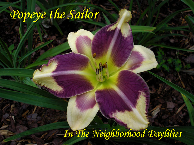 Popeye The Sailor  (Hansen, D.,  2008)-Daylily;Daylillies;Daylilies;CLICK ON IMAGE TO ENLARGE;Daylily Popeye The Sailor;2008 Dan Hansen Daylily;Purple Cream w'Purple Eye & Edge Daylily;Reblooming Daylilies;Daylilies For Sale;Perennial Daylilies