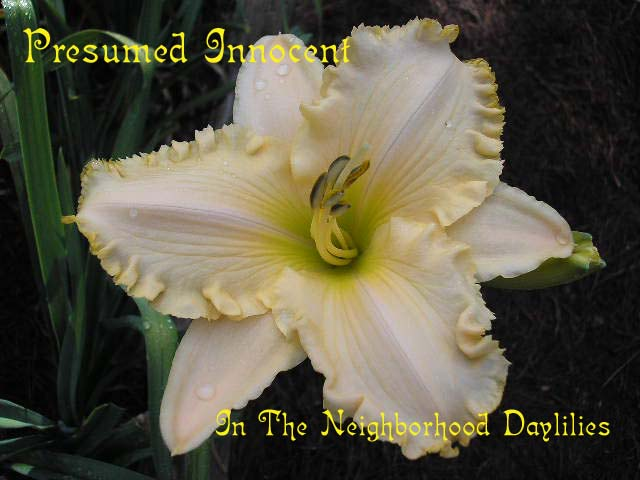 Presumed Innocent   (Carr, 1998)-Daylily;Daylilies;Day Lily Daylillies;CLICK ON IMAGE TO ENLARGE;Daylily Presumed Innocent;Carr Daylily;Ivory Cream w' Gold Edge Daylily;Award Winning Daylily;Perennial;Affordable Daylilies;Early To Midseason Daylily;Tetraploid Daylily;Evergreen Daylily