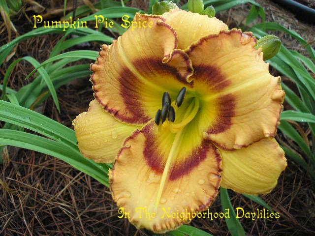 Pumpkin Pie Spice  (Joiner, 1997)-Daylily Pumpkin Pie Spice;Joiner Daylily;Buckskin w' Mauve Wine Eye Daylily;Award Winning Daylily;Perennials;Affordable Daylilies;Early To Midseason Daylily;Reblooming Daylilies;Tetraploid Daylily;Evergreen Daylily