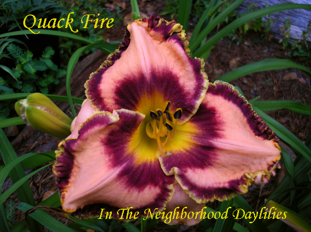 Quack Fire   (Eller, 2005)-Daylily;Daylilies;CLICK ON IMAGE TO ENLARGE;Quack Fire Daylily;Eller 2005 Daylily;Peach w' Maroon Band Daylily;Reblooming Daylilies;Fragrant Daylilies;