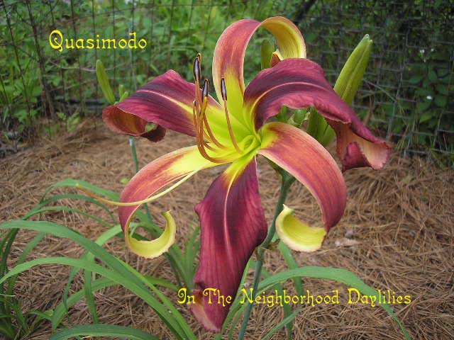 Quasimodo  (Stamile, 2001)-Daylily;Daylilies;CLICK ON IMAGE TO ENLARGE;Quasimodo Daylily;Stamile 2001 Daylily;Red w' Black Red Eye Daylily;Reblooming Daylilies;Unusual Form Daylily;Fragrant Daylilies