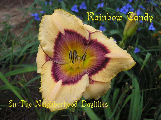 Rainbow Candy (Stamile, 1996)-Daylily Rainbow Candy;Stamile Daylily;Cream w' Purple Lavender Grey Eye Daylily;Award Winning Daylily;Perennials;Affordable Daylilies;Early To Midseason Daylily;Reblooming Daylilies;Fragrant Daylilies;Extended Blooming Time Daylilies;Tetraploid Daylily;Dormant Daylily