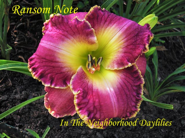 Ransom Note  (Carr, 1998)-Daylily Ransom Note;Carr Daylily;Purple w'Light Purple Watermark & Yellow Gold Edge Daylily;Perennials;Affordable Daylilies;Early To Midseason Daylily;Tetraploid Daylily;Evergreen Daylily