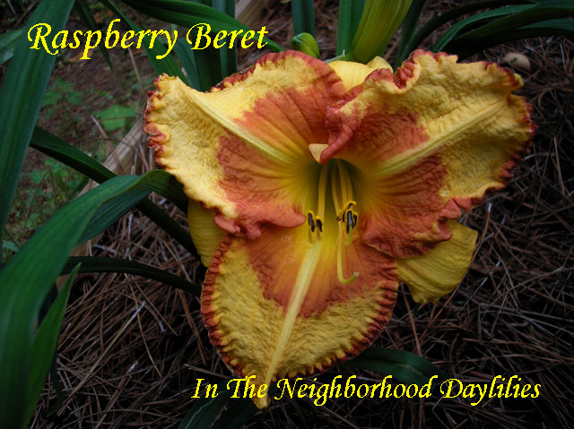 Raspberry Beret  (Trimmer,  1999)-Daylily;Daylilies;CLICK ON IMAGE TO ENLARGE;Daylily Raspberry Beret;Trimmer 1999 Daylily;Gold Amber w' Cranberry Eye & Edge Daylily;Reblooming Daylilies;Perennial;Midseason Blooming Daylily