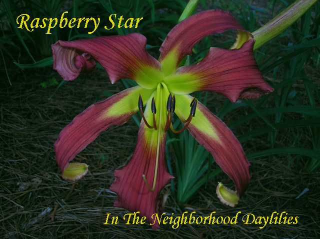 Raspberry Star  (Hansen, 1994)-Daylily Raspberry Star;Hansen Daylily;Bright Raspberry Red Self Daylily;Spider Daylily;Award Winning Daylily;Perennial;Affordable Daylilies;Midseason Daylily;Reblooming Daylilies;Diploid Daylily;Semi-evergreen Daylily