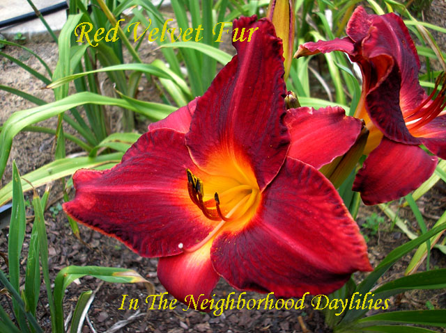 Red Velvet Fur  (Oakes, 1984)-Daylily;Daylilies;CLICK ON IMAGE TO ENLARGE;Daylily Red Velvet Fur;Oakes 1984 Daylily;Cherry Red w'Yellow Orange Throat Daylily;Perennial;Affordable Daylilies;Early To Midseason Daylily;Tetraploid Daylily;Dormant Daylily