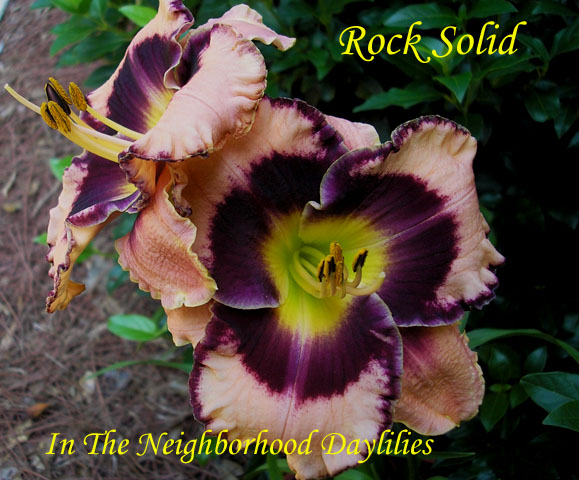 Rock Solid   (Stamile, 2002)-Daylily;Daylilies;Day Lily;CLICK ON IMAGE TO ENLARGE;Daylily Rock Solid;Stamile Daylily;Award Winning Daylily;Reblooming Daylilies;Very Fragrant Daylilies;Cream w' Plum Violet Eye & Edge Daylily;Dormant Daylily