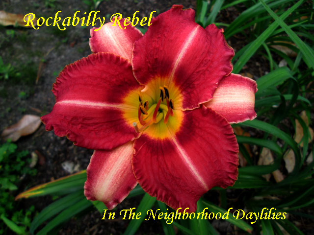 Rockabilly Rebel (Morry  2008)-Daylily;Daylilies;CLICK PICTURE TO ENLARGE;Rockabilly Rebel Daylily;Morry 2008 Daylily;Bright Fuchsia w' Deeper Cherry Eye & White Midribs Above Green to Yellow Throat Daylily;Midseason Blooming Daylily;Dormant Daylily