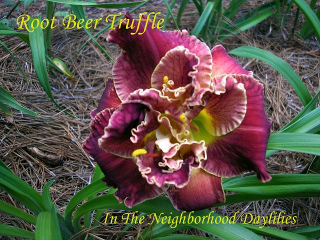 Root Beer Truffle  (Kirchhoff, D.,  2001)-Daylily;Daylilies;CLICK PICTURE FOR LARGER IMAGE;Root Beer Truffle Daylily;David Kirchhoff 2001 Daylily;Award Winning Daylily;Reblooming Daylilies;Double Daylilies;Exetended Bloom Time Daylily