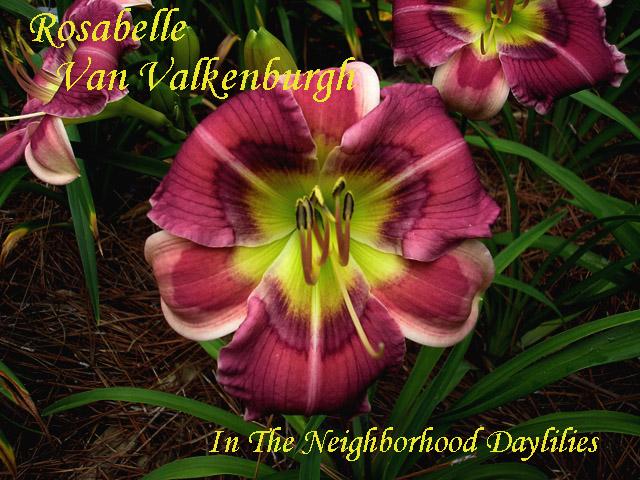 Rosabelle Van Valkenburgh  (Salter, E.H.  2008)-Daylily;Daylilies;Daylily Rosabelle Van Valkenburgh;Elizabeth Salter 2008 Daylily;Small Daylilies;Reblooming Daylilies;Purple w' White Lavender Eye Daylily