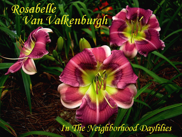 Rosabelle Van Valkenburgh  (Salter, E.H.  2008)-Daylily;Daylilies;Daylily Rosabelle Van Valkenburgh;Elizabeth Salter 2008 Daylily;Small Daylilies;Reblooming Daylilies;Purple w' White Lavender Eye Daylily