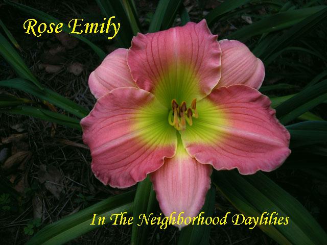 Rose Emily  (Pierce, C., 1982)-Daylily Rose Emily;C.Pierce Daylily;Rose Self w' Green Throat Daylily;Award Winning Daylily;Perennials;Affordable Daylilies;Midseason Daylily;Reblooming Daylilies;Diploid Daylily;Semi-evergreen Daylily