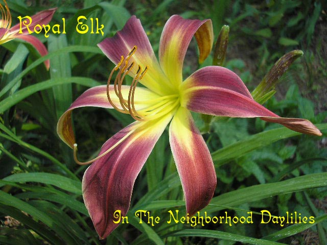 Royal Elk  (Lake, 1957)-CLICK PICTURE;Daylily Royal Elk;Lake Daylily;Purple Self Daylily;Spider Daylily;Perennials;Affordable Daylilies;Early Season Daylily;Reblooming Daylilies;Diploid Daylily;Evergreen Daylily