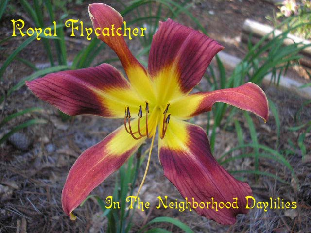 Royal Flycatcher  (Mahieu, B., 2003)-Daylily Royal Flycatcher;B.Mahieu Daylily;Coppery Red w' Blue Sheen & Darker Oxblood Band Daylily;Perennials;Mid To Late Season Daylily;Unusual Form Daylily;Diploid Daylily;Dormant Daylily