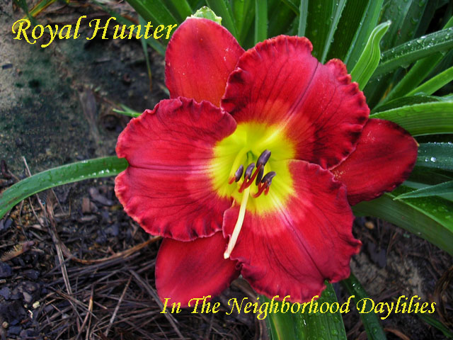 Royal Hunter  (Salter, 2002)-Daylily;Dayliliies;CLICK ON IMAGE TO ENLARGE;Daylily Royal Hunter;Salter Daylily;Rose Red w' Pale Watermark & Eye w' Green Throat Daylily;Perennials;Early To Midseason Daylily;Reblooming Daylilies;Tetraploid Daylily;Semi-evergreen Daylily