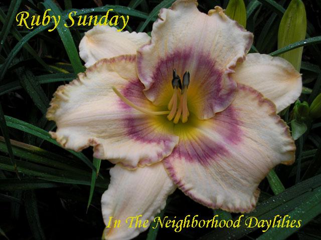 Ruby Sunday  (Gaskins,   2004)-Daylily;Daylilies;Daylillies;CLICK ON IMAGE TO ENLARGE;Ruby Sunday Daylily;Gaskins 2004 Daylily;Cream w' Lavender Blue Eye & Edge Daylily;Reblooming Daylilies;Fragrant Daylilies