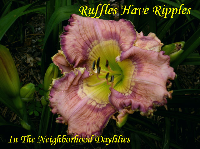 Ruffles Have Ripples  (Petit,  2009)-Daylily;Daylilies;Daylillies;CLICK IMAGE TO ENLARGE;Daylily Ruffles Have Ripples;Petit 2009 Daylily;Award Winning Daylily;Lavender w'Violet Patterned Eye & Violet Picotee Edge w' Gold Above Green Throat Daylily;Reblooming Daylilies