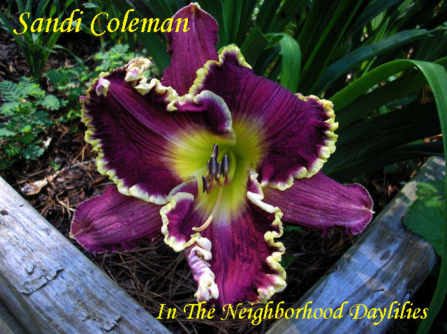 Sandi Coleman  (Eller,  2008)-Daylily;Daylilies;Daylillies;Daylily Sandi Coleman;2008 Eller Daylily;Rose Purple w' Cream Watermark & Heavy Gold Ruffled Edge Above Green Throat Daylily;Fragrant Daylilies;Reblooming Daylilies