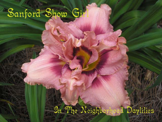 Sanford Show Girl   (Kirchhoff, D., 1989)-CLIKC PICTURE;Daylily Sanford Show Girl;D.Kirchhoff Daylily;Pastel Mauve w'Wine Red Eye Daylily;Double Daylily;Award Winning Daylily;Perennial;Affordable Daylilies;Early Season Daylily;Reblooming Daylilies;Diploid Daylily;Evergreen Daylily