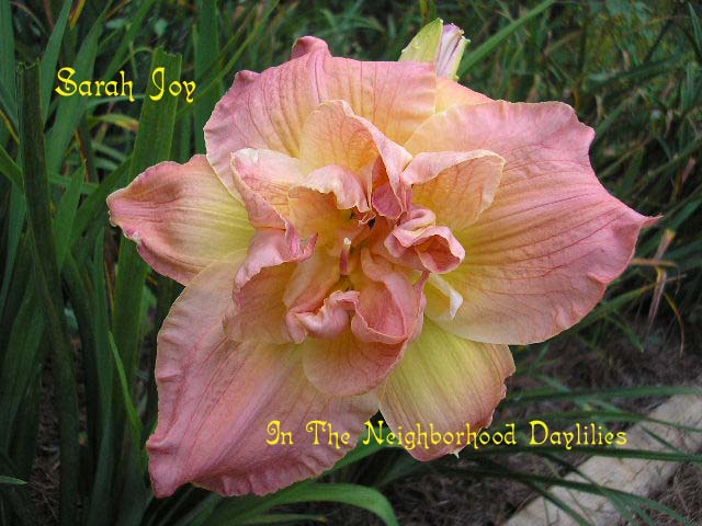 Sarah Joy  (Boykin, 1997)-CLICK PICTURE;Daylily Sarah Joy;Boykin Daylily;Pink Blend w' Yellow Halo Daylily;Double Daylilies;Daylily Pictures;Perennials;Fragrant Daylilies;Early Midseason Daylilies;