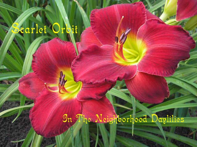 Scarlet Orbit   (Gates, L., 1984)-Daylily Scarlet Orbit;Lee Gates Daylily;Red Self w' Yellow Green Throat Daylily;Award Winning Daylily;Perennials;Affordable Daylilies;Fragrant Daylilies;Early Season Daylily;Reblooming Daylilies;Tetraploid Daylily;Evergreen Daylily
