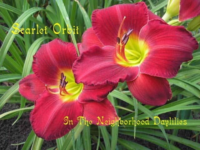 Scarlet Orbit   (Gates, L., 1984)-Daylily Scarlet Orbit;Lee Gates Daylily;Red Self w' Yellow Green Throat Daylily;Award Winning Daylily;Perennials;Affordable Daylilies;Fragrant Daylilies;Early Season Daylily;Reblooming Daylilies;Tetraploid Daylily;Evergreen Daylily