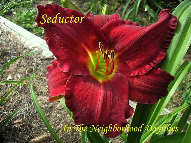 Seductor  (Gates, L., 1983)-Daylily Seductor;Lee Gates Daylily;Red Self Daylily;Award Winning Daylily;Perennials;Affordable Daylilies;Extra Early Season Daylily;Reblooming Daylilies;Fragrant Daylily;Extended Blooming Time Daylilies;Tetraploid Daylily;Evergreen Daylily