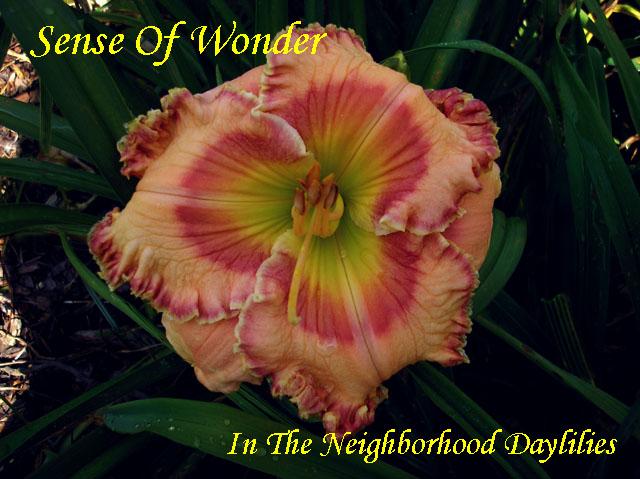 Sense Of Wonder  (Trimmer,  2005)-Daylily;Daylilies;Day Lily;Daylillies;Daylily Sense Of Wonder;Trimmer 2005 Daylily;Award Winning Daylily;Almond Pink w'Red Eye & Edge Above Green Throat Daylily;Perennial Daylily