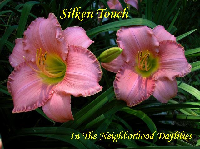 Silken Touch  (Stamile, 1990)-Daylily Silken Touch;Stamile Daylily;Rose Pink Self Daylily;Daylily Picture;Perennial;Award Winning Daylily;Fragrant Daylily;Affordable Daylily