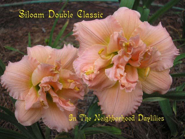 Siloam Double Classic  (Henry, P., 1985)-Daylily Siloam Double Classic;P.Henry Daylily;Pink Self Daylily;Double Daylily;Daylily Picture;Affordable Daylilies;Award Winning Daylily;Perennial;Fragrant Daylilies