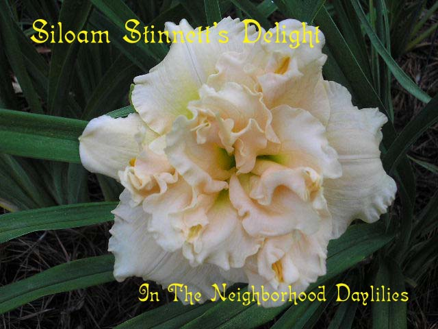 Siloam Stinnett's Delight   (Henry, P., 1992)-Daylily Siloam Stinnett's Delight;P.Henry Daylily;Light Pink w' Pink Eye Daylily;Double Daylily;Daylily Picture;Perennial;Affordable Daylilies;Fragrant Daylilies;Dormant Daylily