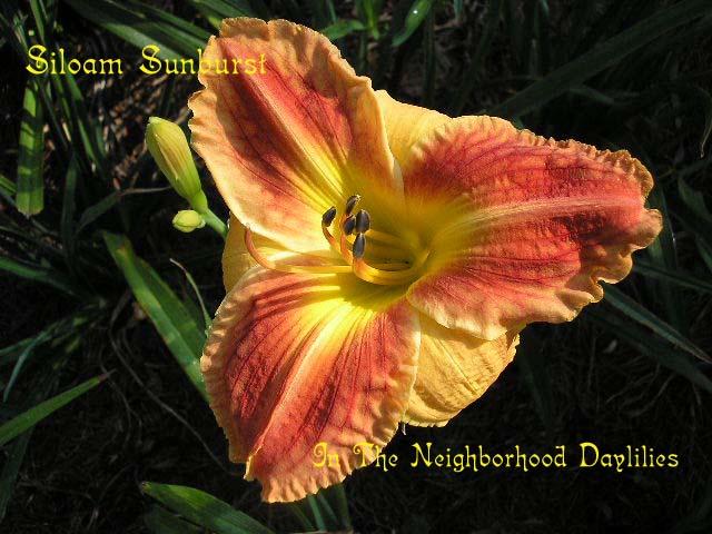 Siloam Sunburst  (Henry, P., 1977)-Daylily;Daylilies;Day Lily;Daylily Siloam Sunburst;P.Henry 1977 Daylily;Reddish Orange Bitone Daylily;Daylily Picture;Perennial;Affordable Daylilies;Mid To Late Season Daylily;Dormant Daylily