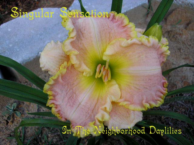 Singular Sensation  (Stamile,  2004)-CLICK PICTURE;Daylily Singular Sensation;Stamile Daylily;Pink w' Gold Bubbly Edge & Green Throat Daylily;Daylily Pictures;Perennials;Early Midseason Daylilies;Reblooming Daylilies;Semi-evergreen Daylilies
