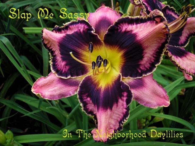Slap Me Sassy (Petit, 2004)-Daylily Slap Me Sassy;T.Petit Daylily;Lavender Rose w' Black Eye & Gold Edge Daylily;Daylily Picture;Perennial;Midseason Daylily;Reblooming Daylilies