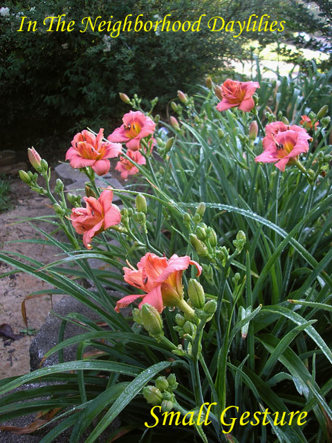 Small Gesture Four Fans  (Stamile, G., 1997)-Daylily Small Gesture;G.Stamile Daylily;Melon Pink Blend w' Rose Eye Daylily;Double Daylily;Daylily Picture;Perennial;Award Winning Daylily;Affordable Daylilies;Midseason Daylily;Reblooming Daylilies