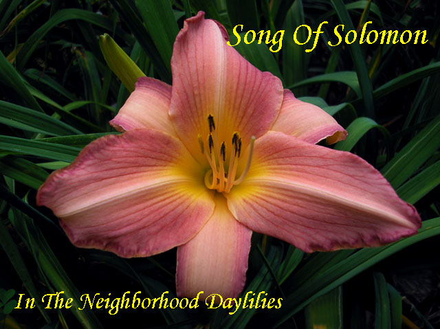 Song of Solomon   (Peck, 1971)-Daylily;Daylilies;CLICK ON IMAGE TO ENLARGE;Daylily Song Of Solomon;Peck Daylily;Rose Lavender Blend w' Green Yellow Throat Daylily;Daylily Picture;Perennial;Affordable Daylilies;Midseason Daylily;Dormant Daylily