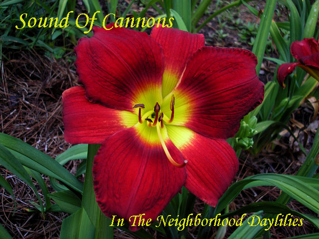 Sound Of Cannons  (Sellers, 1993)-Daylily;Daylilies;CLICK ON IMAGE TO ENLARGE;Daylily Sound Of Cannons;Sellers Daylily;Red Self Daylily;Daylily Picture;Perennial;Award Winning Daylily;Affordable Daylilies;Midseason Daylily;Reblooming Daylilies;Dormant Daylily