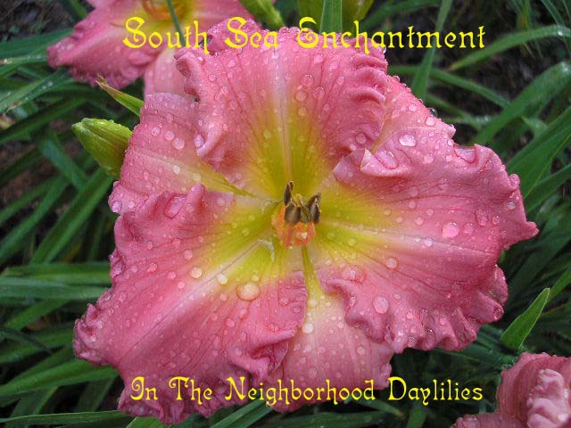 South Sea Enchantment Billingslea, 1996-Daylily South Sea Enchantment;Billingslea Daylily;Rose Pink Self Daylily;Daylily Picture;Perennial;Award Winning Daylily;Affordable Daylilies;Midseason Daylily;Reblooming Daylilies;Fragrant Daylilies