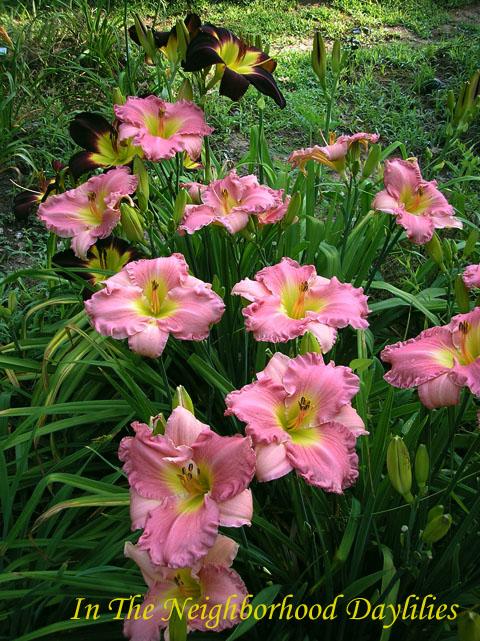 South Sea Enchantment   (Billingslea, 1996)-Daylily South Sea Enchantment;Billingslea Daylily;Rose Pink Self Daylily;Daylily Picture;Perennial;Award Winning Daylily;Affordable Daylilies;Midseason Daylily;Reblooming Daylilies;Fragrant Daylilies