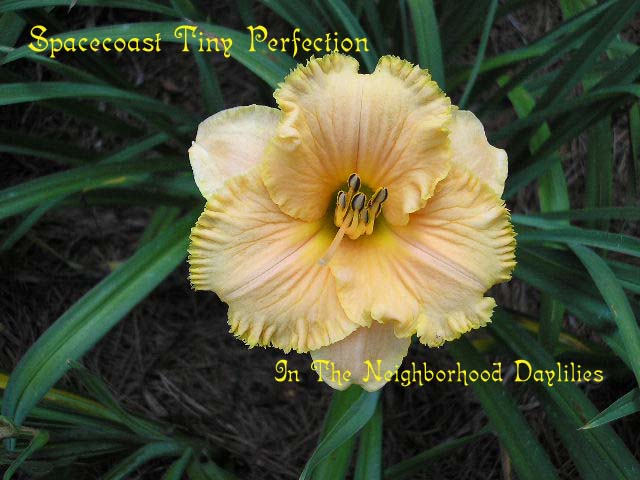 Spacecoast Tiny Perfection   (Kinnebrew, J.  1998)-Daylily Spacecoast Tiny Perfection;CLICK PICTURE;John Kinnebrew Daylily;Award Winning Daylily;Reblooming Daylilies;Miniature Daylily;Semi-evergreen Daylily