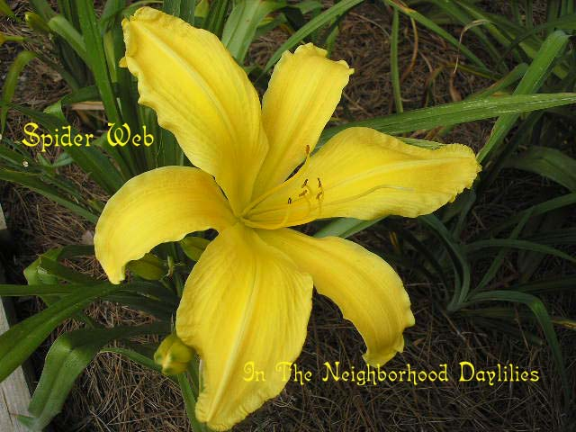 Spider Web  (Tanner, M., 1975)-Daylily Spider Web;M.Tanner Daylily;Yellow Self Daylily;Daylily Picture;Perennial;Award Winning Daylily;Affordable Daylilies;Fragrant Daylilies;Early Midseason Daylily