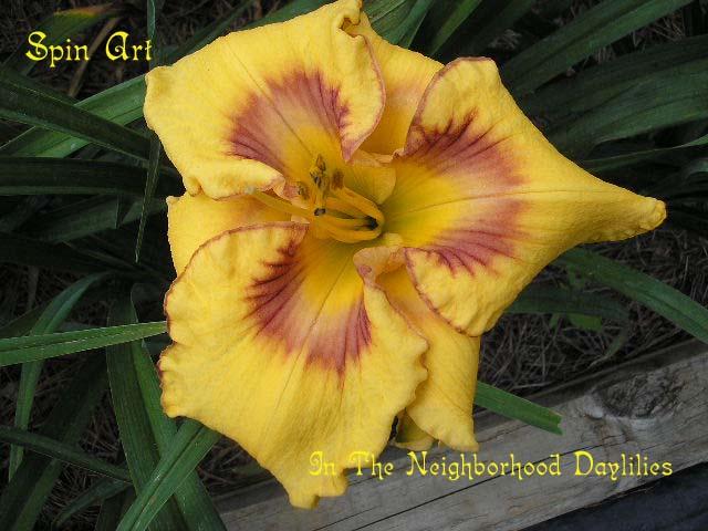 Spin Art   (Bell, 2003)-Daylily Spin Art;T.Bell Daylily;Yellow Gold w' Multi-patterned Purple Eye & Edge Daylily;Daylily Picture;Perennial;Fragrant Daylilies;Midseason Daylily;Reblooming Daylilies
